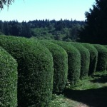Hedges serve as borders and/or buffers